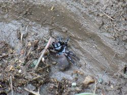 Trapdoor spider after the storms