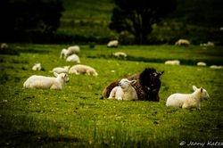 The happy lamb - Das glückliche Lamm
