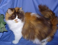 """""""Dior"""" chocolate calico longhair Persian non-standard young mom"""