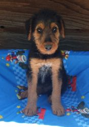 Oorang Gavin:  $1035 after neuter binder rebate, $1495 full AKC registration, Giant Airedale Terrier, male, born 3-5-17 to Gigi and Buddy