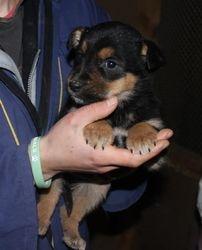 Tekla pup - still to be named (taken 13 Feb 2013)