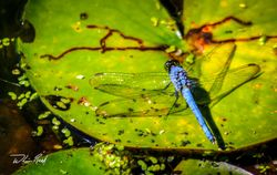 Dragonfly on Lily Pad