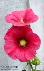 Red Hollyhocks - Doubles