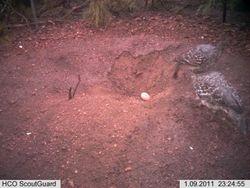 Malleefowl Egg in Mound