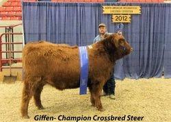 Crossbred Steer