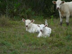 Calves in Pasture