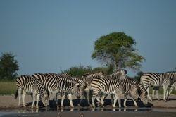 Zebra migration in Nxai Pan