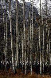 Birches,Alberta
