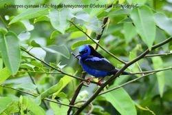 Red-legged honeycreeper - male