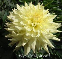 Wyn's Magnifica! AA ID Y-