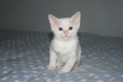 7 weeks old - Red point Boy - Available
