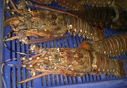 INDIAN LOBSTERS