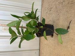 Sandy leaf jasmine