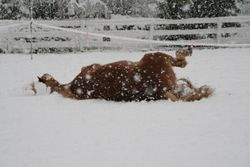 Even horses can make snow angels!