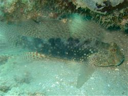 Beautiful Goby