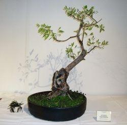 Eucalyptus Magnoliophyta