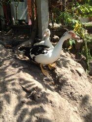 Donated Ducks
