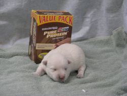 AKC female Westie born 6-9-11