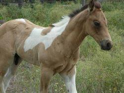 Suckling - APHA buckskin tobiano colt by Sparks Black Jack
