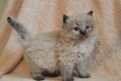 Seal Colorpoint Mink Baby