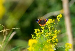 Admiralfalter / The Red Admiral
