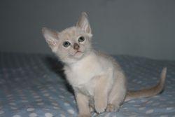 7 weeks old - Chocolate Boy  - Reserved