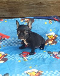 Mini Reba:  $2495 companion after $300 spay binder rebate, $3095 intact with full AKC Registration, AKC French Bulldog