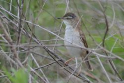 Paddyfield Warbler  -  ROUSSEROLLE ISABELLE
