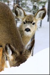 Mama Mule Deer and Fawn