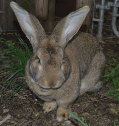 April 2016 Lincoln- Flemish Giant