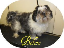 Lhasa Apso - Before