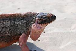 An endangered Allen's Cay iguana