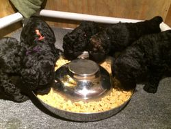 The puppies had their first real food much today!  The loved it!  31 days.