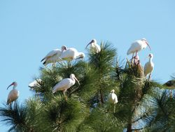 Flock of White Ibis