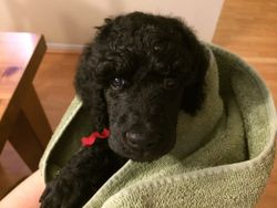 Red snuggling in a warm towel after a bath and fluff dry.  40 days.