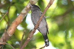 Caneleiro preto ( Pachyramphus polychopterus )
