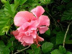 Hibiscus in Auckland, New Zealand