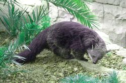 Female Binturong of India