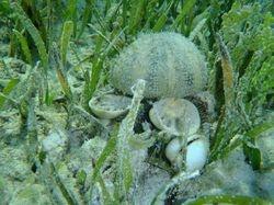 Sea Urchin at Matt Lowes Cay