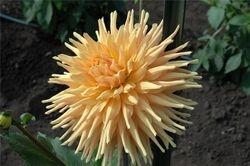 Wyn's Sensation~Paul & Cheryl H.'s garden 2008