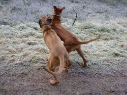 Elvis and Baako playing - rough as usual!