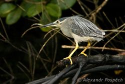 Night heron, Mangroves