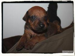 08-Mr Brown the lapdog 3 weeks