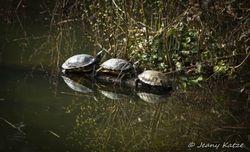 Red-eared-sliders / Rotwangen Schmuckschildkröten