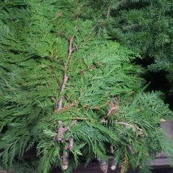 Cedar Boughs, 7.99