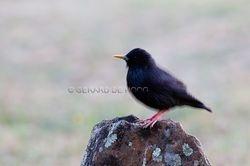 zwarte spreeuw