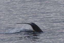 45.Fin de baleine.