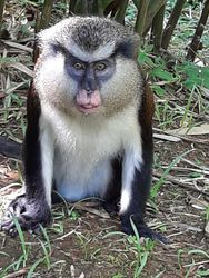 """George"", adult male mona monkey in Grand Etang National Park in January 2020"
