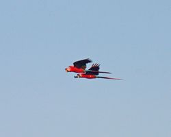 Macaw fly-past