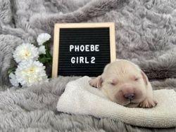 Phoebe - Female - Yellow Collar